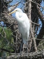 Great Egret New Orleans Swamp.jpg