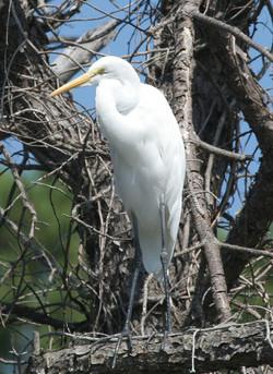 Great Egret New Orleans Swamp