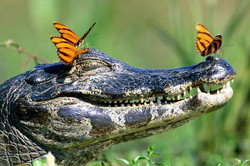 new orleans swamp alligator