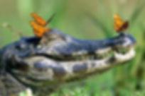 new orleans swamp alligator.jpg