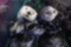 sea-otters-ivy-kit-nd15-007.webp