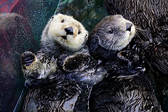 sea-otters-ivy-kit-nd15-007.webp