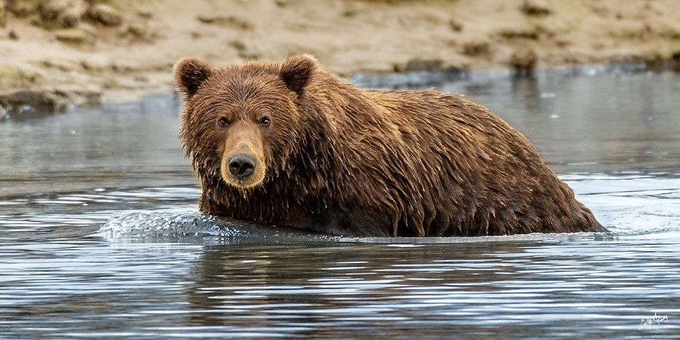 Grizzly Swim