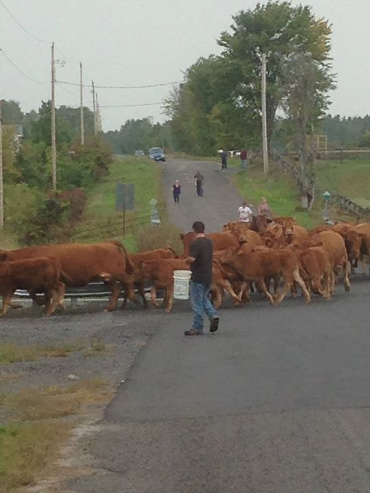 Morning cattle drive 💕