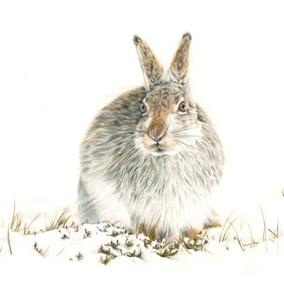 Snow Hare.jpg