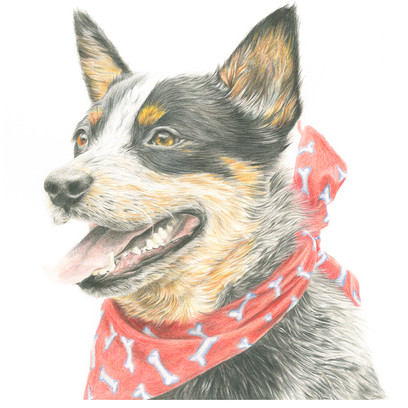 Dog_AusCattleDog.jpg