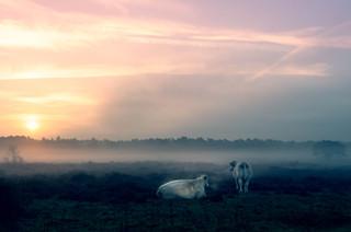 koeien-3.jpg