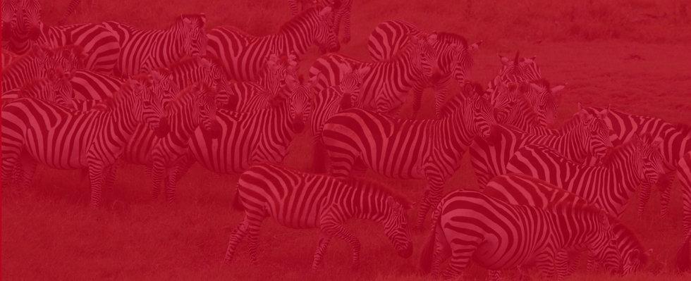 Zebras image.jpg