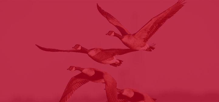 Geese image.jpg