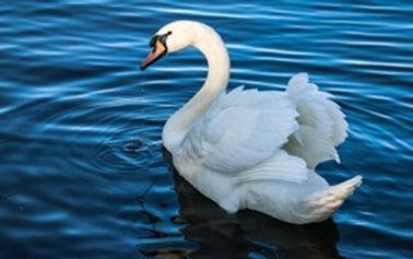White-swan-pond-blue-water_s.jpg
