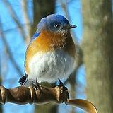 Blue bird for AzarEl Q&A copy.jpg