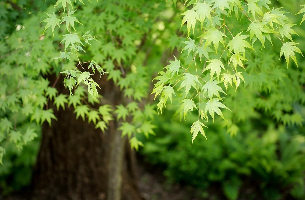 Shades of Green Maple copy.jpg
