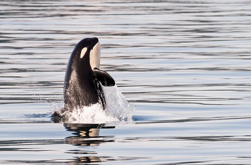 Orca - Killer Whale copy.jpg