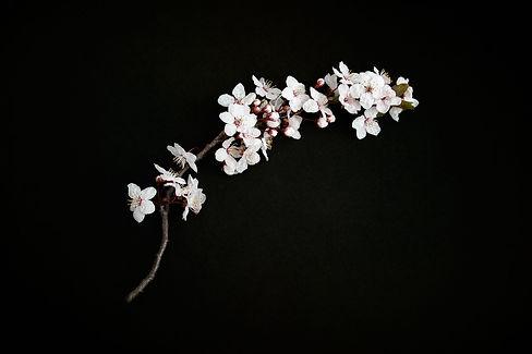 cherry-blossom-2127040_1920 (2).jpg