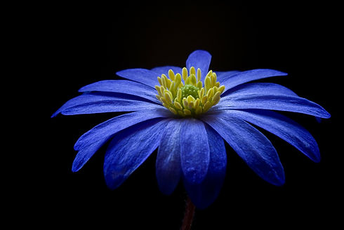 anemone-56414_1920 (2).jpg
