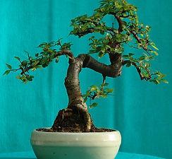 David de Villiers bonsai .jpg