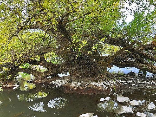 old-willow-tree-irina-hays.jpg