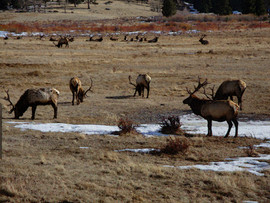 Elk, Rocky Mtn. National Park