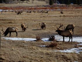 Elk, Rocky Mtn. National Park