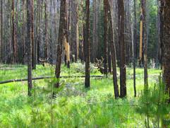 Hidden Moose, Jasper National Park