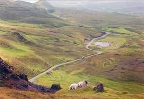 Mountain Sheep, Lake District, England