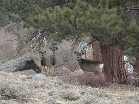 Doe, Rocky Mtn. National Park