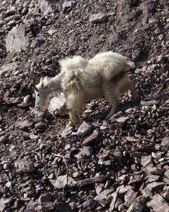 Mountain Goat Heading for Salt Lick, Glacier National Park