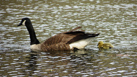 Mother Goose and Chick, Teatown  Lake