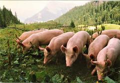 Pigs, Switzerland