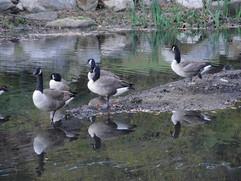 Geese, Beechmont Lake