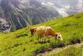 Grazing Cows, Switzerland