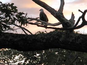 Eagle on perch Sorrento, ME