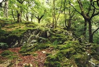 English Woodland
