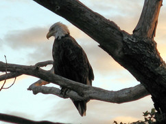 Eagle on Perch, Sorrento ME
