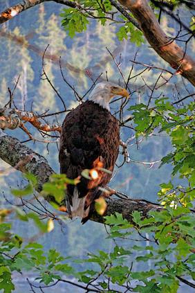 Eagle, Sorrento, ME