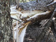 Woodland Squirrel