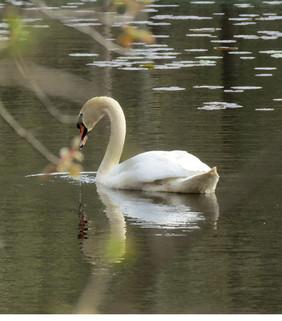 Swan, Teatown Lake