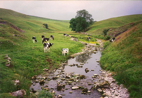 Grazing Cows, Yorkshire, England