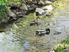 Mallard Ducks, Pine Brook
