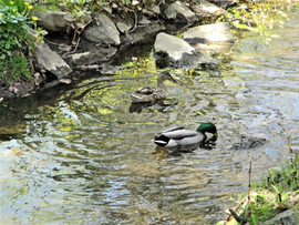 Mallard Ducks, Pine Brook