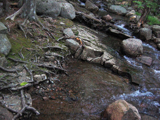 Woodland Rivulets