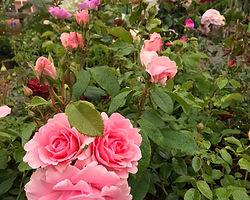 pink blooms.jpg