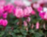 freckled pink mini cyclamen 1600x80 res.