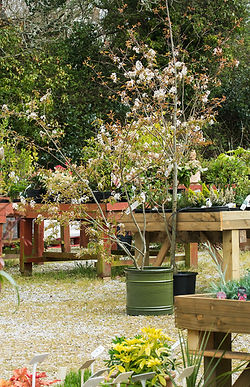 Ornamental trees, Eucalyptus, hardy trees, free local dlivery over £30 in value