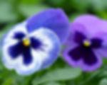 blue pansy 1600x80 res.jpg