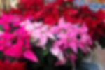 Poinsettia 2019 1606x89 res.jpg