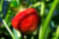 Strawberry , soft fruit, Cornish
