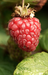 Loganberry, soft fruit, Cornwall, Falmouth