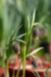 Fritillaria vulpis