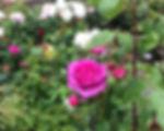 cornish roses.jpg